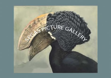 Fine art print of the Crested Hombill (Bycanistes cristatus) by Louis Agassiz Fuertes (1930)